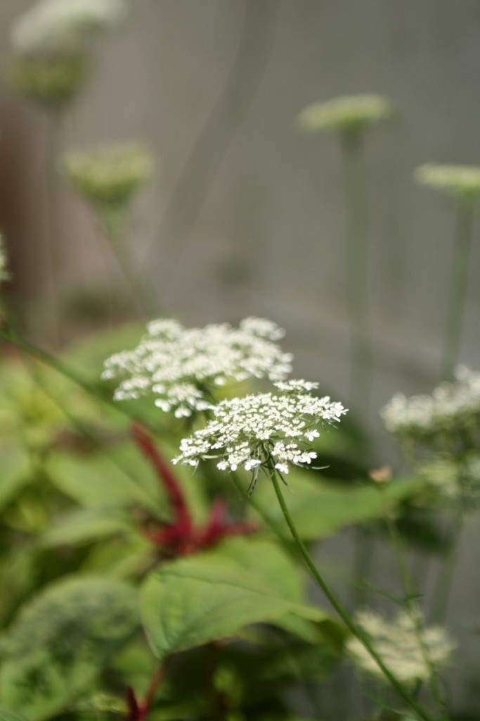 Ammi. A lovely filler flower for bouquets and arrangements.