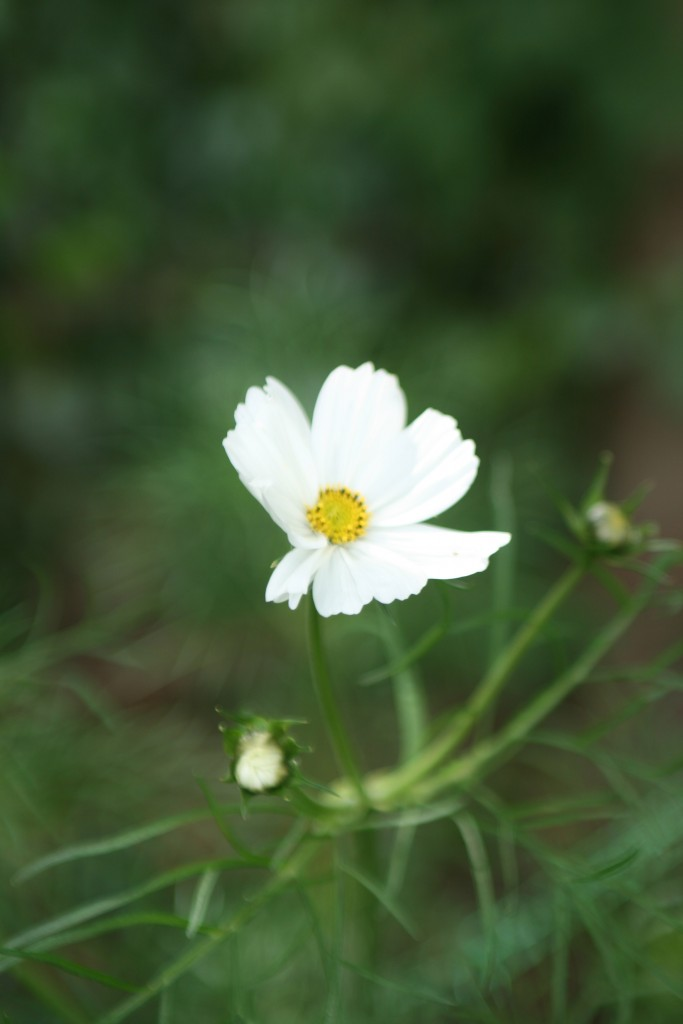 Cosmos. These are lovely. I grew only white last year but planning lots of colourful varieties this year.