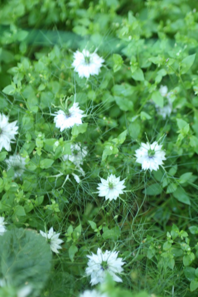 Soft delicate nigella flower are great in bouquets